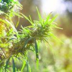 Was unterscheidet Hanf und Cannabis?